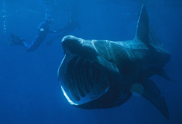 Uno squalo elefante