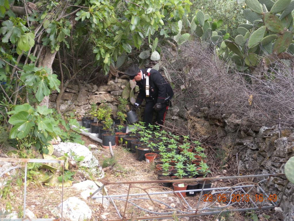 piante-di-marijuana (1)