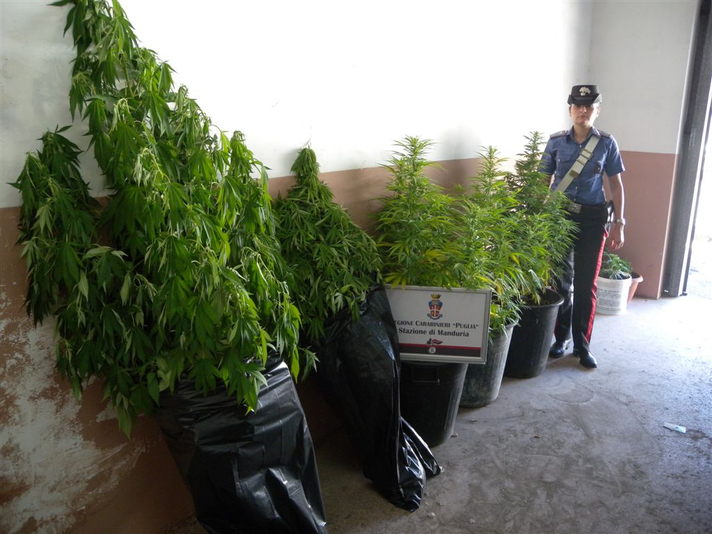 Manduria: marijuana in Grow box con acceleratore della crescita e lampade. In...