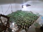 foto piantagione marijuana (1)