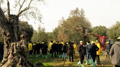 Interventi in un uliveto della provincia di Lecce (Foto P.D.P.)