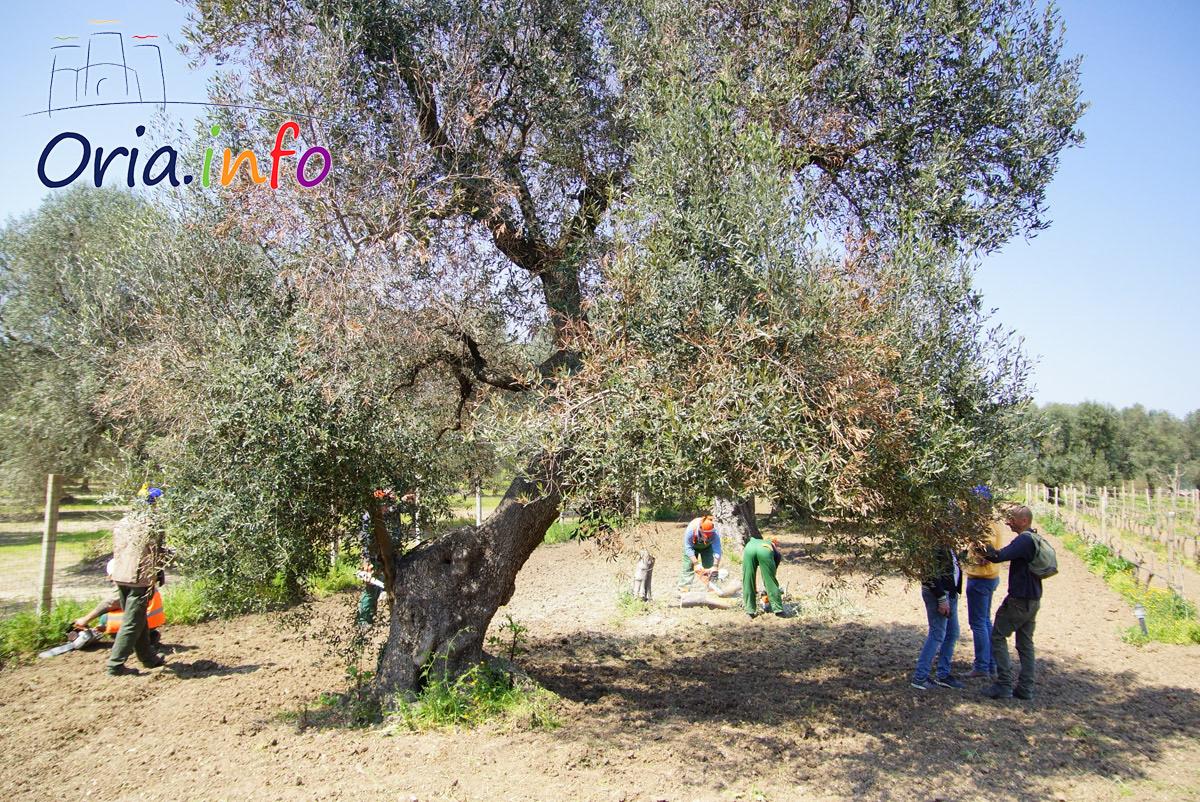 xylella-albero-da-abbattere
